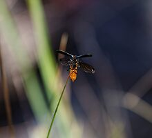 Soldier Beetle (Chauliognathus Lugubris) by Matthew Hockley
