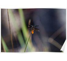 Soldier Beetle (Chauliognathus Lugubris) Poster