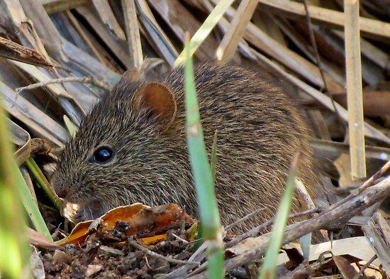 Arizona Cotton Rat by Kimberly Chadwick