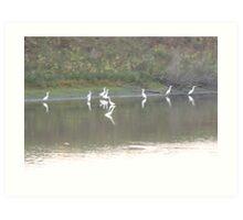 Egrets, Kaskaskia Bell State Park, Kaskaskia IL Art Print