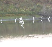 Egrets, Kaskaskia Bell State Park, Kaskaskia IL by Tania Rose Marg