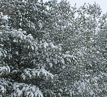 Snow covered white pine forest by jjastren