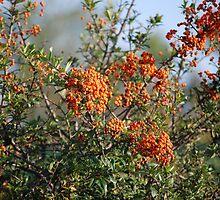 Orange Berries by Mark McReynolds