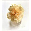 Carnation by LouiseK