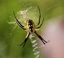 Garden Spider by Mark McReynolds
