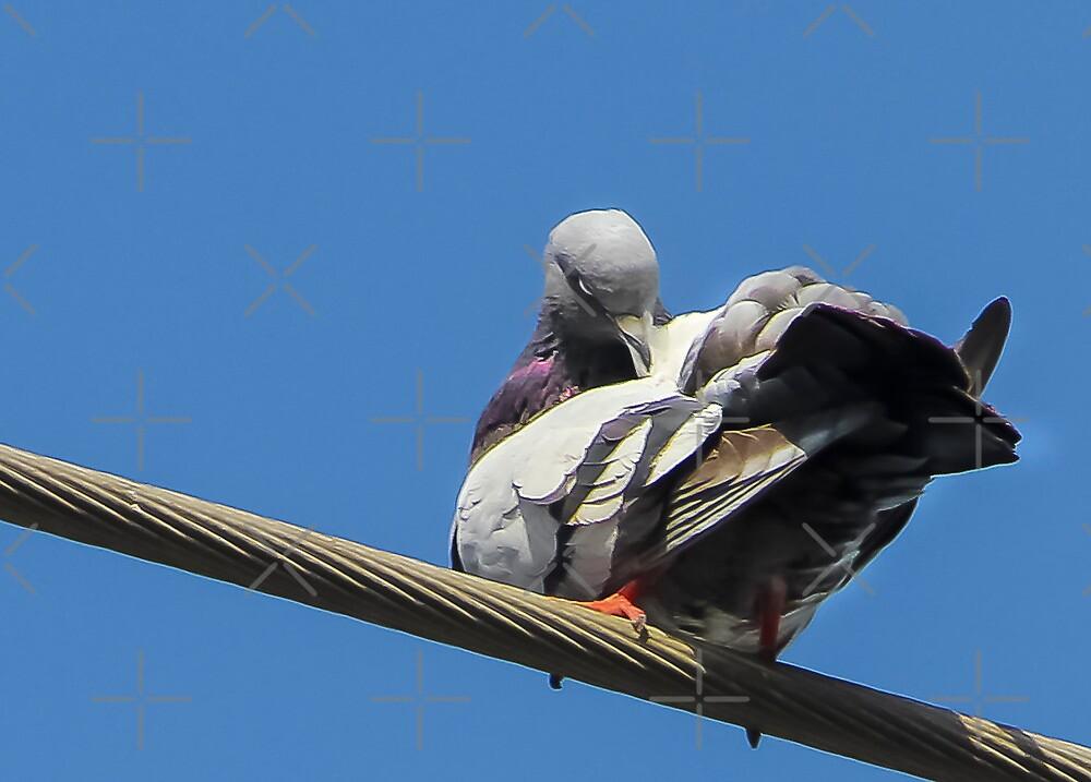 Pigeon Preening by Heather Friedman