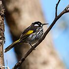 New Holland Honey Eater by Chris  Randall