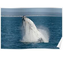 Humpback Whale Breaching 1 Poster