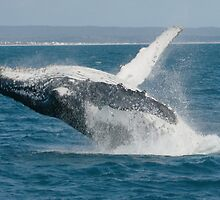 Humpback Whale Breaching 3 by Gotcha29