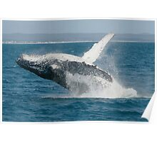 Humpback Whale Breaching 3 Poster