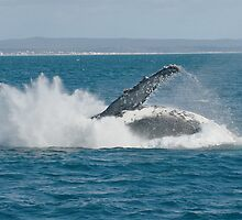 Humpback Whale Breach 4 by Gotcha29