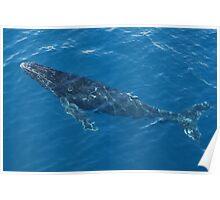 Humpback Whale Calf Poster