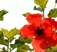 Illuminating In Red by NatureGreeting Cards ©ccwri