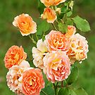 roses by Glen Johnson