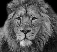 Asiatic Lion by Darren Wilkes
