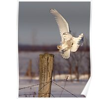 Snowy Owl on post Poster