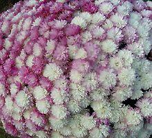 Chrysanthemums in two colors by Ana Belaj