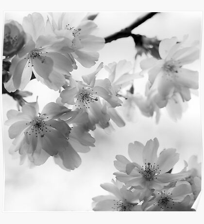 Flowering cherry tree - monochrome Poster