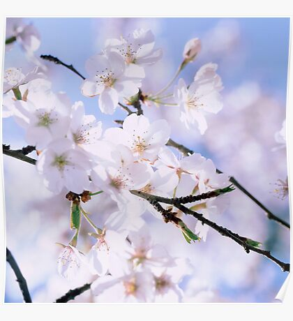 Cherry blossoms in spring Poster
