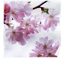 Flowering cherry tree Poster