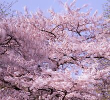 Flowering cherry tree moving in the wind by intensivelight