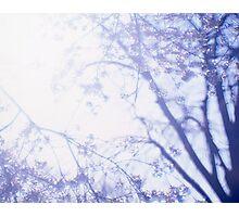 Flowering cherry tree - multiple exposure Photographic Print