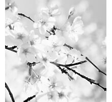 Cherry blossoms - monochrome Photographic Print