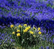 Grape Hyacinth and Daffodils  by cherylorraine