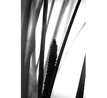 Flowering grass - monochrome Photographic Print