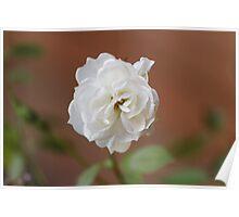 Miniature White Floribunda Rose Flower Poster