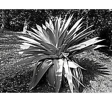 Silver Swords  Photographic Print