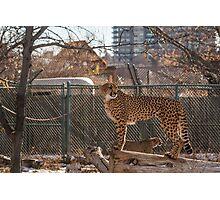 Cheetah Watching Photographic Print