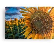 Sunflowers field Metal Print