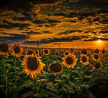 Sunflowers field landscape by Dobromir Dobrinov