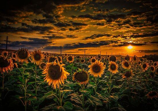 Sunflowers field landscape by Dobromir Dobrinov