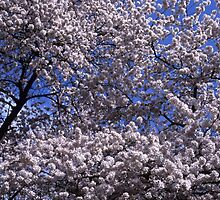 Flowering cherry tree under blue sky by intensivelight