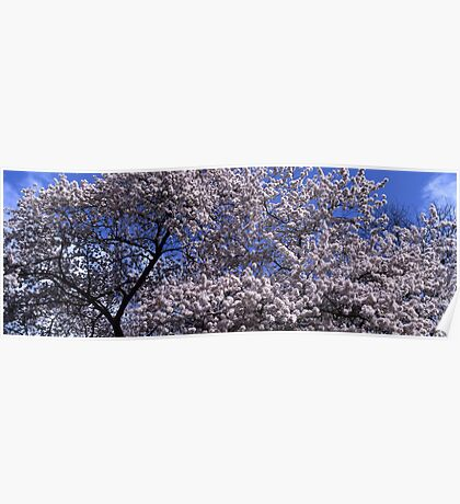 Flowering cherry tree under blue sky Poster