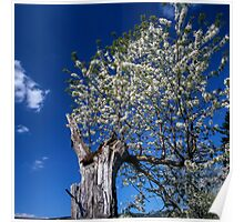 Flowering old apple tree Poster
