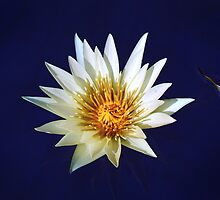 Water Lily - Yellow and White by cclaude