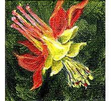 Red and yellow columbine 3 by 3 inch handpainted miniature Photographic Print