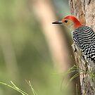 Red-bellied Woodpecker by Heather Pickard