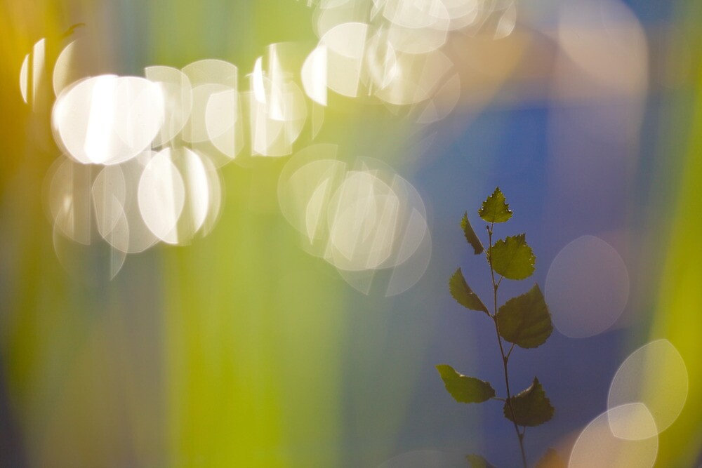 Birch leaves are reflected in a lake by intensivelight