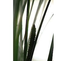 Silhouette of flowering grass Photographic Print