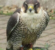 The Peregrine Falcon by printerbill