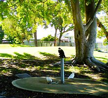 A Crow And Two White Galahs Pretend Famous Mates by Robert Phillips