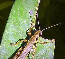 Grass Hopper  by James E. Thomas