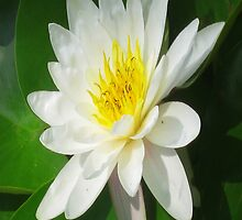 Water Lilly   by James E. Thomas