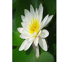 Water Lilly   Photographic Print