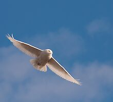 Snowy Owl on silent wings by dwornham
