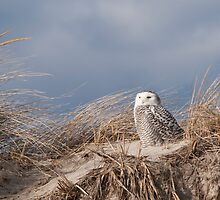 Snowy Owl on the lookout by dwornham